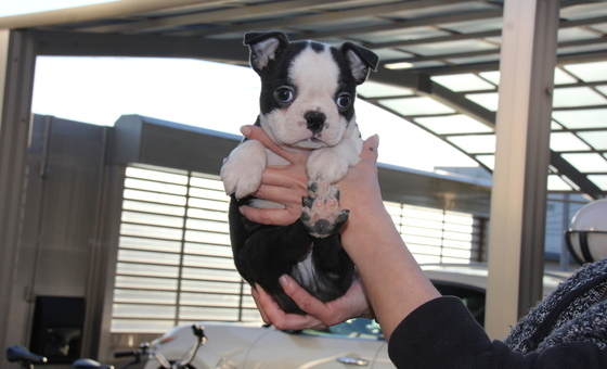 ID:BT172 Boston Terrier