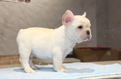 ID:FB686 French Bulldog
