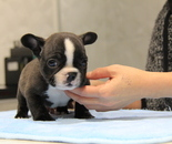ID:FB689 French Bulldogのイメージ