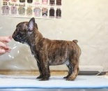 ID:FB814 French Bulldogのイメージ