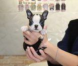 ID:BT226 Boston Terrier のイメージ