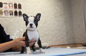 ID:BT226 Boston Terrier