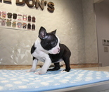 ID:BT227 Boston Terrierのイメージ