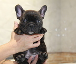 ID:FB813 French Bulldogのイメージ
