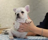 ID:FB815 French Bulldogのイメージ