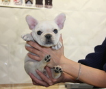 ID:FB816 French Bulldogのイメージ