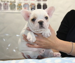 ID:FB822 French Bulldogのイメージ
