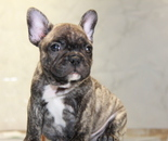 ID:FB827 French Bulldogのイメージ