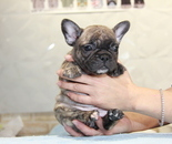 ID:FB828 French Bulldog のイメージ