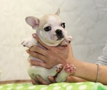 ID:FB799 French Bulldogのイメージ