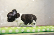 ID:FB798 French Bulldog