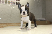 ID:BT174 Boston Terrier