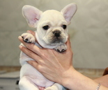 ID:FB681 French Bulldogのイメージ