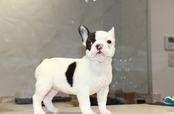 ID:FB685 French Bulldog
