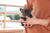 ID:FB701 French Bulldog