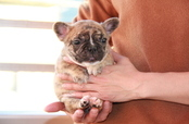ID:FB702 French Bulldog