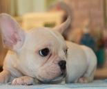 ID:FB703 French Bulldogのイメージ