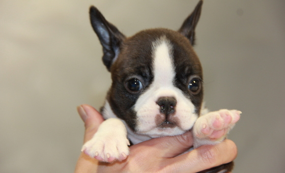 ID:BT176 Boston Terrier