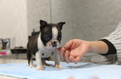 ID:BT179 Boston Terrier