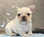 ID:FB708 French Bulldogのイメージ
