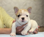 ID:FB713 French Bulldogのイメージ