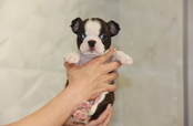 ID:BT183 Boston Terrier