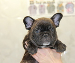 ID:FB705 French Bulldogのイメージ