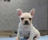 ID:FB706 French Bulldogのイメージ