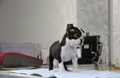 ID:BT187 Boston Terrier