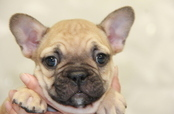 ID:FB722 French Bulldog 販売中!