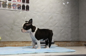 ID:BT188 Boston Terrier