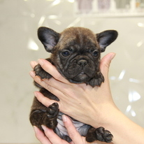 ID:FB716 French Bulldogのイメージ