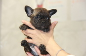 ID:FB716 French Bulldog