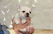 ID:FB718 French Bulldog