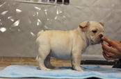 ID:FB719 French Bulldog