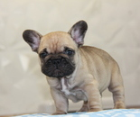ID:FB756 French Bulldog のイメージ