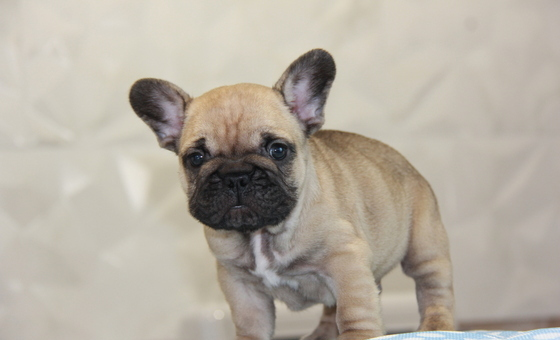 ID:FB756 French Bulldog