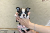 ID:BT203  Boston Terrier