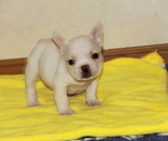 ID:FB767 French Bulldog のイメージ