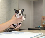 ID:BT209 Boston Terrier のイメージ