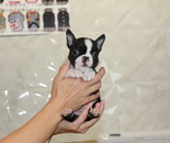 ID:BT211 Boston Terrier のイメージ
