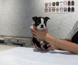 ID:BT208 Boston Terrier のイメージ