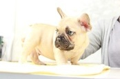 ID:FB933 French Bulldog