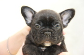ID:FB941 French Bulldog 販売中!!
