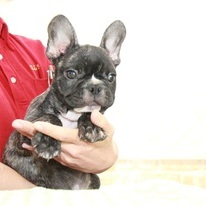 ID:FB930 French Bulldogのイメージ
