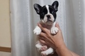 ID:FB946 French Bulldog