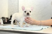 ID:FB947 French Bulldog 販売中!