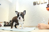 ID:BT273 Boston Terrier