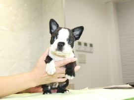 ID:BT271 Boston Terrier 販売中!!