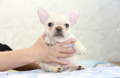 ID:FB949 French Bulldog